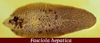 trematode fascioliasis a férgek okai a gyermekeknél